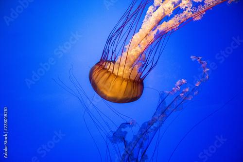 Leinwandbild Motiv jellyfish in water