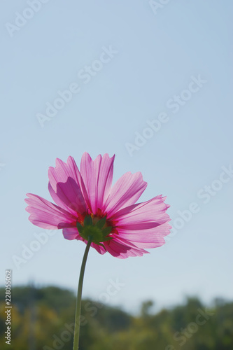 Pink Cosmos Flower against Sunlight with Blue Sky Background