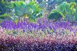Multicolored flowerbed of Woodland Sage