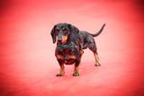 Dachshund dog on red carpet
