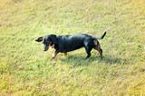 Black Dachshund dog on the lawn