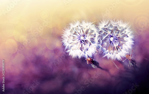 Two dandelion in spring field. Flowers background. - 228080879