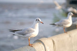 Seagull standing on Rail Bridge at the sea