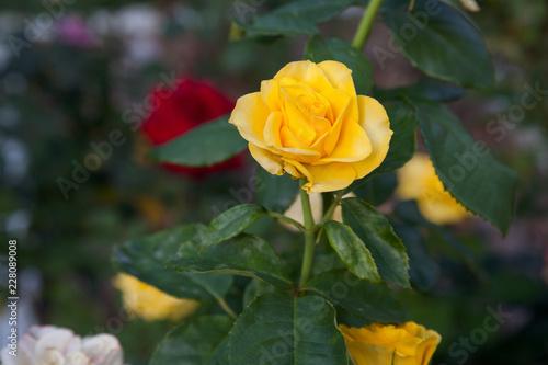 Foto Murales Beautiful yellow rose growing in the garden.