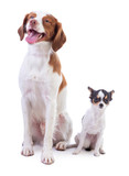 Brittany spaniel and young Chihuahua