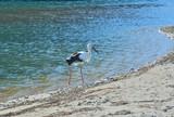 Oriental white stork (Ciconia boyciana) 4