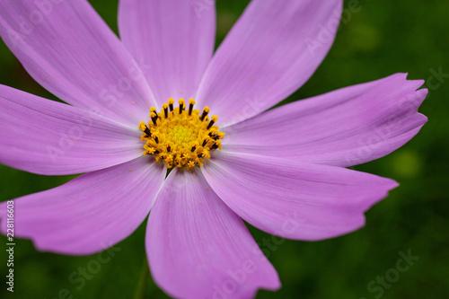 紫色のコスモス一輪