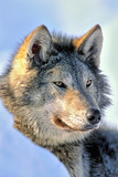 Timber Wolf in winter, watching
