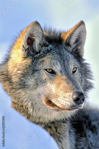 Timber Wolf in winter, watching - 228125816