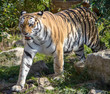 walking ussurian tiger