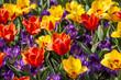 Feld mit roten und gelben Tulpen