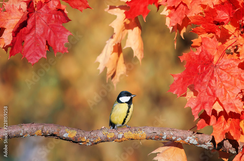 Foto Murales beautiful little bird titmouse sitting in an autumn garden on the branch of a maple with bright red leaves in the fall