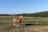 horse in Field of Brie region in Île de France