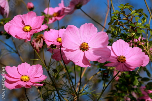 pink cosmos flowers in front of blue sky