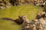 A dominant male tiger of tourism zone of Ranthambore National Park cooling off in water hole  in hot summer - 228165217
