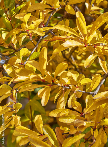 Foto Murales autumn yellow foliage closeup on sunny day, natural background