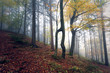 Beautiful morning foggy forest landscape with colorful autumn season leaves.