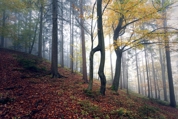 Beautiful morning foggy forest landscape with colorful autumn season leaves. © robsonphoto