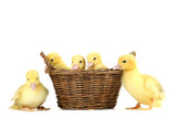 Little yellow ducklings in basket on white background