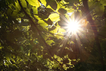 Beautiful shiny sun rays with flare through beech tree leaves. © robsonphoto