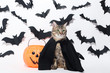 Grey cat with plastic pumpkin and black paper bats on white background