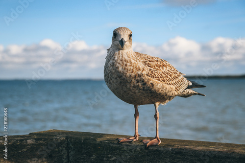 Foto Murales Sitting seagull with sea in the background