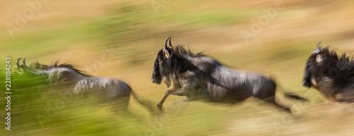 Wildebeests running through the savannah. Great Migration. Kenya. Tanzania. Maasai Mara National Park. An excellent illustration.