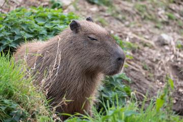 Capybara, Large South American rodents. Photographed at Port Lympne Safari Park near Ashford Kent UK.