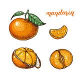 Mandarin hand drawn vector illustration. Mandarin slices.