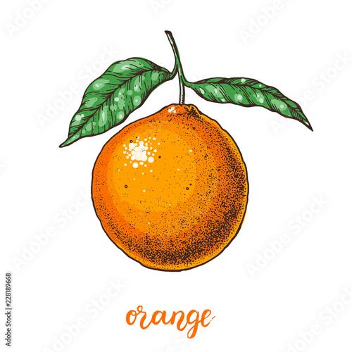 Pomarańczowy ręcznie rysowane ilustracji wektorowych.