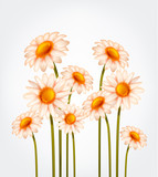 Fresh Daisy flowers, marguerite, chamomile isolated.