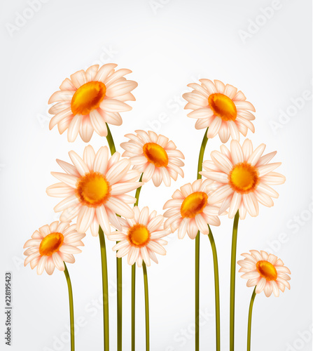 Wall mural Fresh Daisy flowers, marguerite, chamomile isolated.