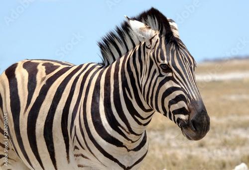 Zebra on dry plain, Etosha National Park, Namibia - 228208074