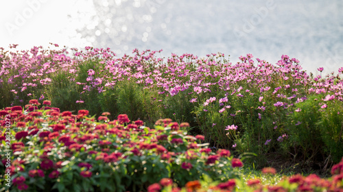 pink Cosmos Flower Field With sunlight