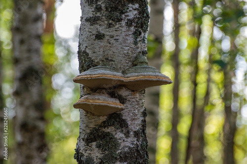 Mushrooms growing on birch in the forest - 228245660