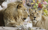 The pair of lions. The lion is a species of predatory mammals, one of the four representatives of the genus Panthers.