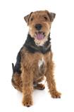 welsh terrier in studio - 228250072