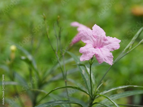Wall mural Pink flower. minnieroot, popping pod, cracker plant, Ruellia tuberosa L.