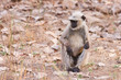 Gray Langur also known as Hanuman Langur in the Bandhavgarh National Park in India. Bandhavgarh is located in Madhya Pradesh. Indian langurs are lanky, long-tailed monkeys.