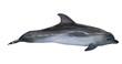 single bottlenose dolphin photo