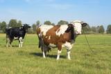 Cows and meadow - krowy pasące się na łące