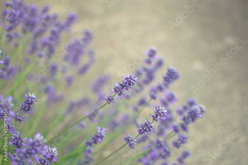 bunch of lavender on a background - 228293458