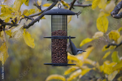 Foto Murales Nuthatch at bird feeder  in Bromma, Stockholm