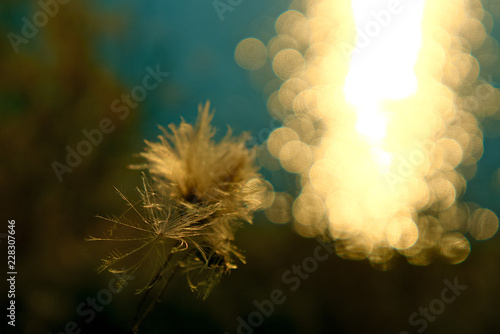 Down flowers against the glare of the suns on the water. - 228307646