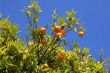 Oranges on tree against blue sky