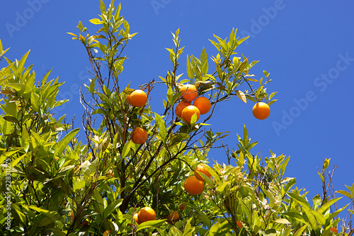 Pomarańcze na drzewie przeciw niebieskiemu niebu