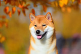 Portrait of a dog breed Shiba inu in autumn Park.