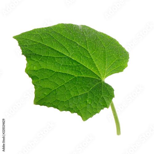 green fresh leaf of cucumber isolated - 228324629
