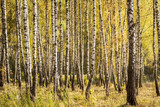 Birch forest in the early autumn. - 228340640
