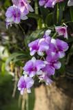 Close-up purple orchid